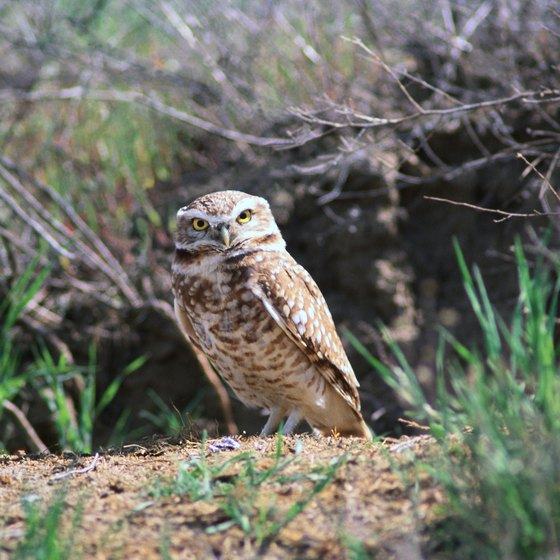 Burrowing owls, tiny land-dwelling carnivores, are among the birds discussed at the events.