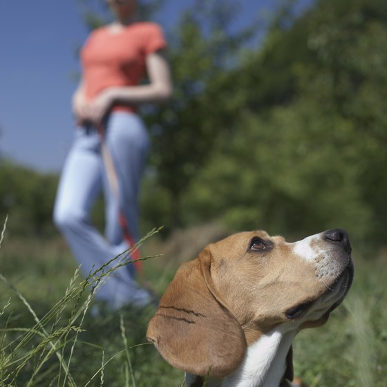 Your beagle will need frequent walks.