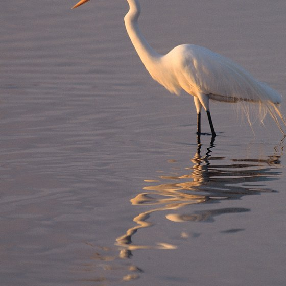 Great egrets make their home on Sanibel Island.