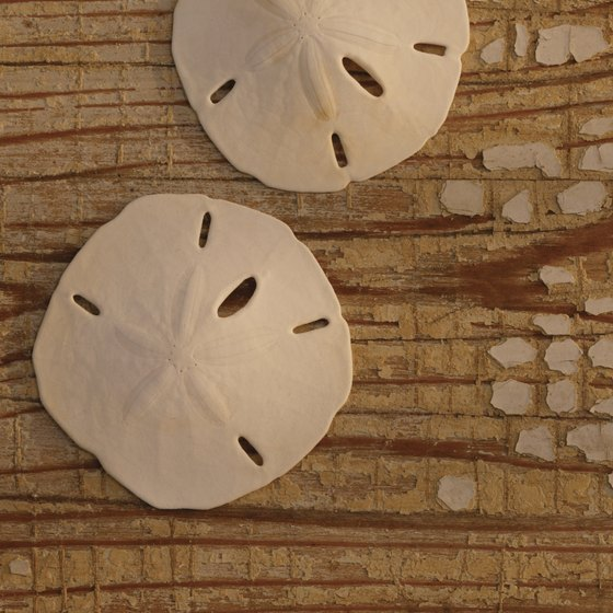 Sand dollars are a popular souvenir collected from Fort Desoto's beaches and waters.