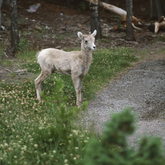 Wildlife watchers in Canada's western and northern highlands may see mountain sheep.