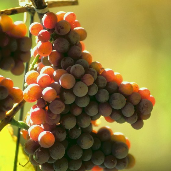 The grapes are ready to harvest, and the city of Mendoza celebrates