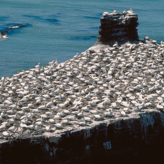 Don't miss the largest gannet colony in New Zealand.