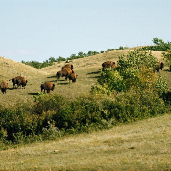 Denver has its own buffalo herd.
