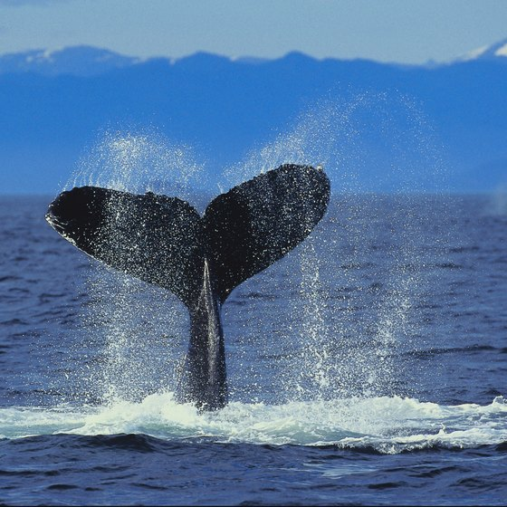 Whales migrate annually to Alaska's waters from Hawaii and Baja California, Mexico.
