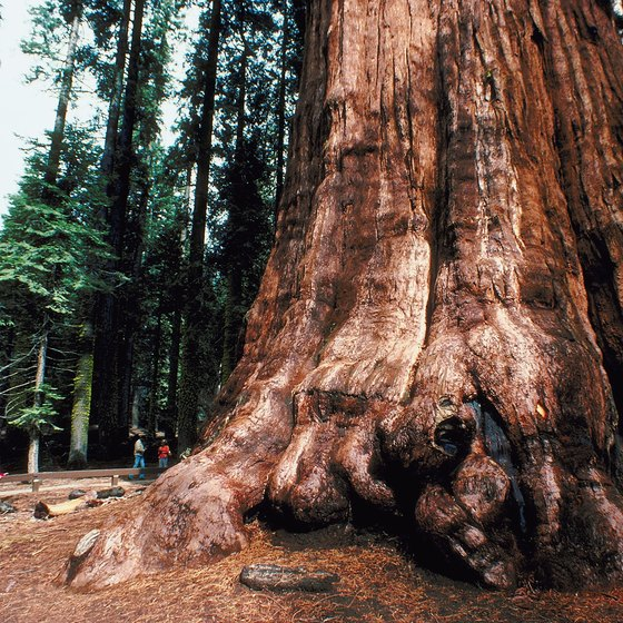 The base of the General Sherman Tree, the largest tree in the world.