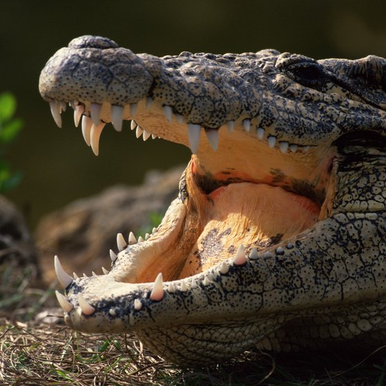 Have a crocodile encounter on a swamp safari in Falmouth.