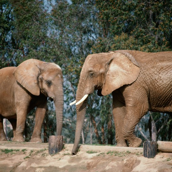 Elephants are among the main attractions at Missouri's zoos.