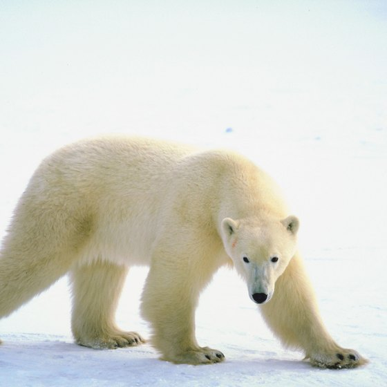 See polar bears near Barrow, Alaska.