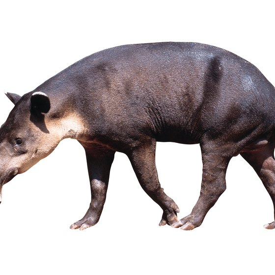 You can view animals such as tapirs in El Triunfo Biosphere Reserve.