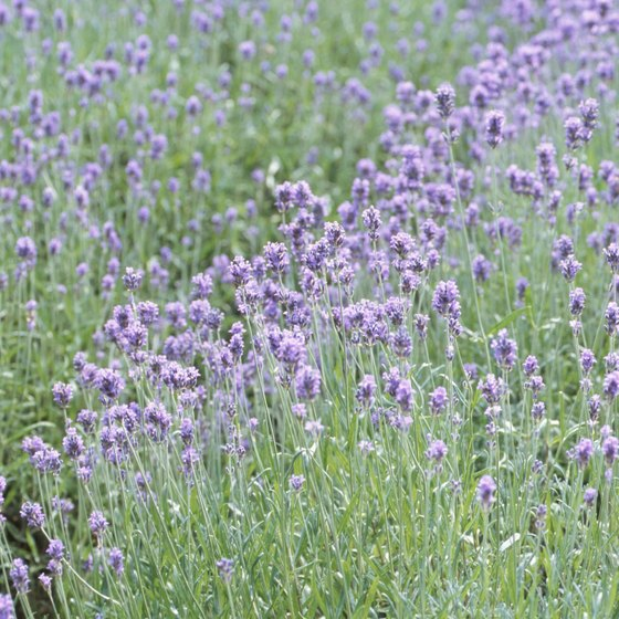 Sequim hosts an annual lavender festival.