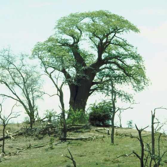 In Zambia, the Central African Plateau is savanna, or dry grassland with clumps of trees.