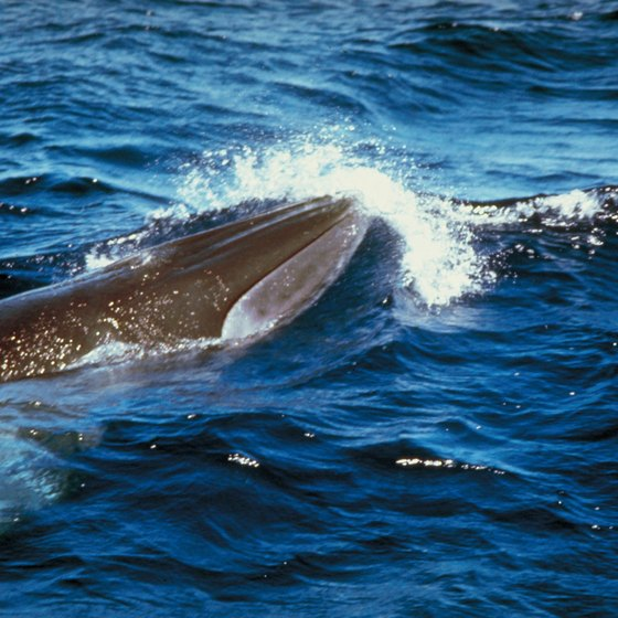 The sperm whale is Connecticut's state animal.
