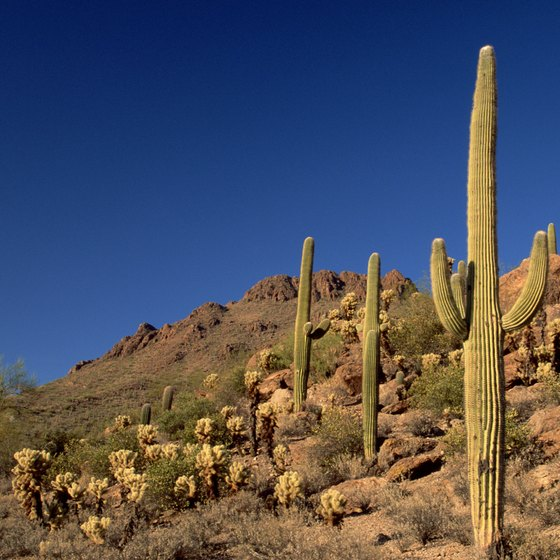 Saguaro cacti thrive in Tucson, Arizona's, mild winters.
