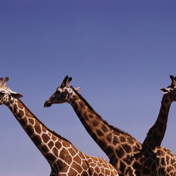 Giraffes on the grassy plains of Africa