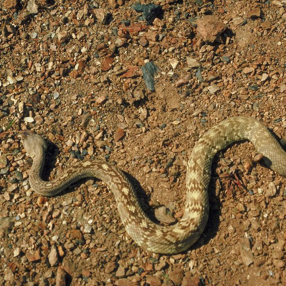 A large rattlesnake population requires Death Valley campers to be extra vigilant.