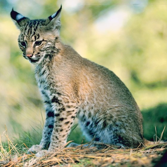 A fortunate hiker along the San Pedro might spot a bobcat in the riparian thickets.