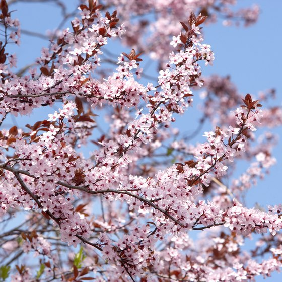 The cherry blossom festival is observed every April in Japan.