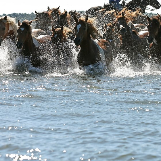 Wild ponies are part of Assateague beach charm.