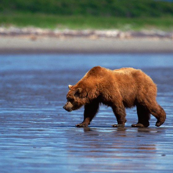 Wildlife enthusiasts travel to Anvik to enjoy the wilderness and go on grizzly bear spotting trips.