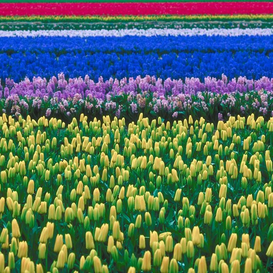 Every spring, the Netherlands celebrates is native flower, the tulip.