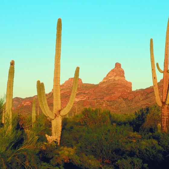 Saguaro catcus are an iconic feature of the Sonoran Desert.