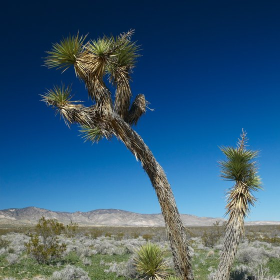 Joshua trees thrive in the Mojave Desert.