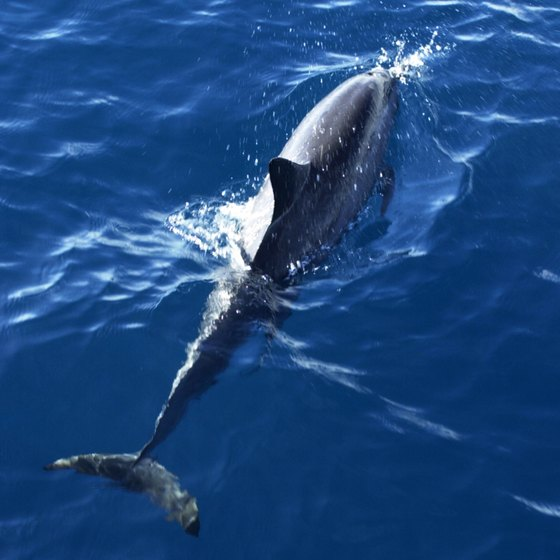 Spinner dolphins can be found in the waters off the coast of Texas.