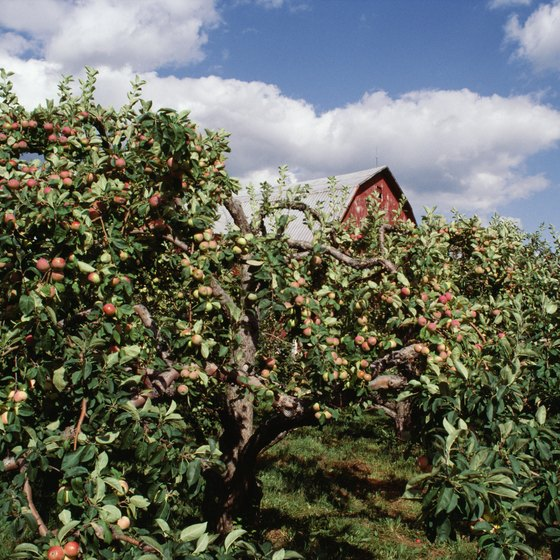 Enjoy Victor's classic Upstate New York you-pick apple orchard.