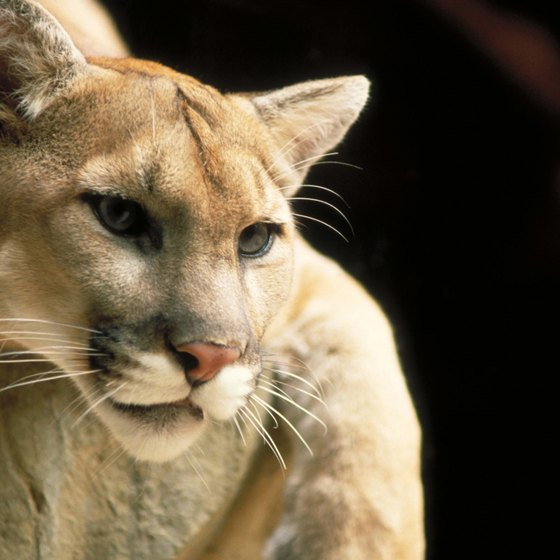 The puma is a top predator in North American temperate rain forests.