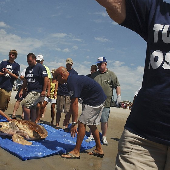 Volunteers at the Karen Beasley Sea Turtle Rescue and Rehabilitation Center in Topsail Beach return a sea turtle to the ocean.