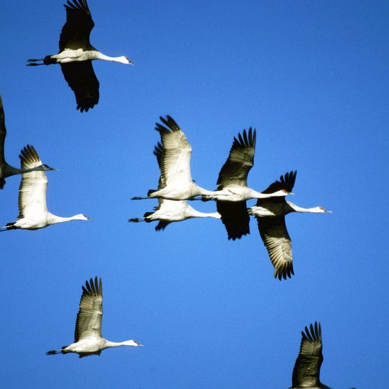 Each spring, sandhill cranes migrate through Nebraska.