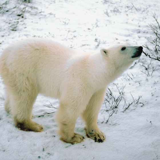 A cruise in the Arctic might include polar bear sightings.