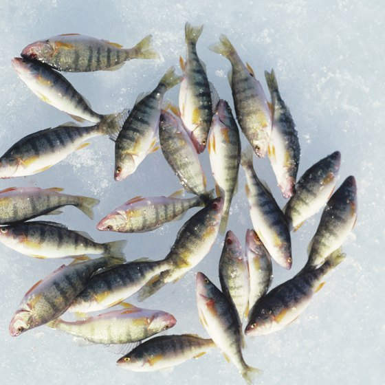 Ice fishing for perch in Beaverton