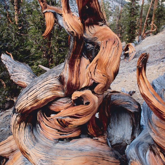 Bristlecone Pines are found in the high elevations of Mount Charleston.