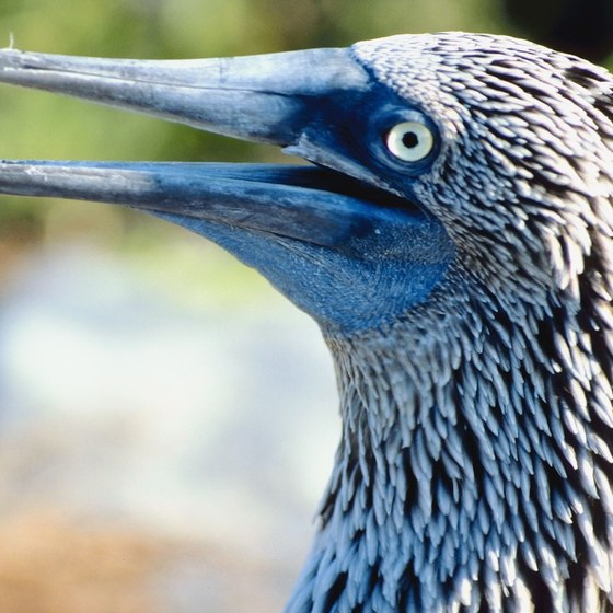 Catch a blue-footed booby during your visit to the Galapagos Islands.