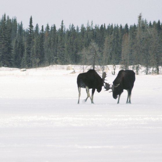 You may encounter moose as you explore the taiga.