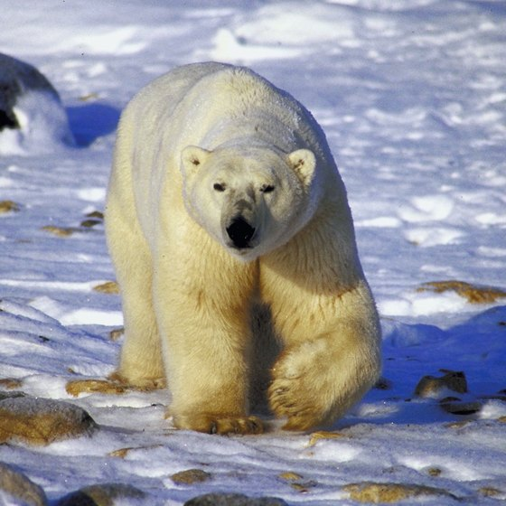 Male polar bears can be 12 feet tall and weigh 1,200 pounds.