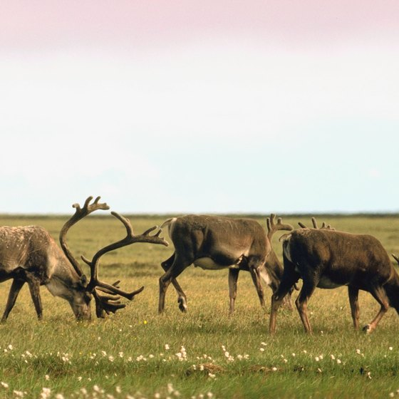 Caribou graze on the Alaskan tundra in summer.