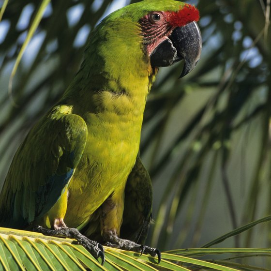 The massive thick-billed parrots called macaws are among Honduras's native birds.