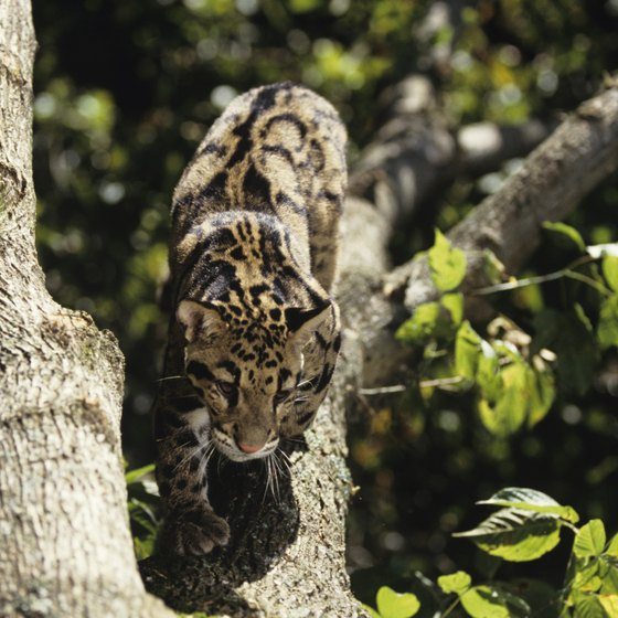 The clouded leopard lives in Malaysia's rain forests.