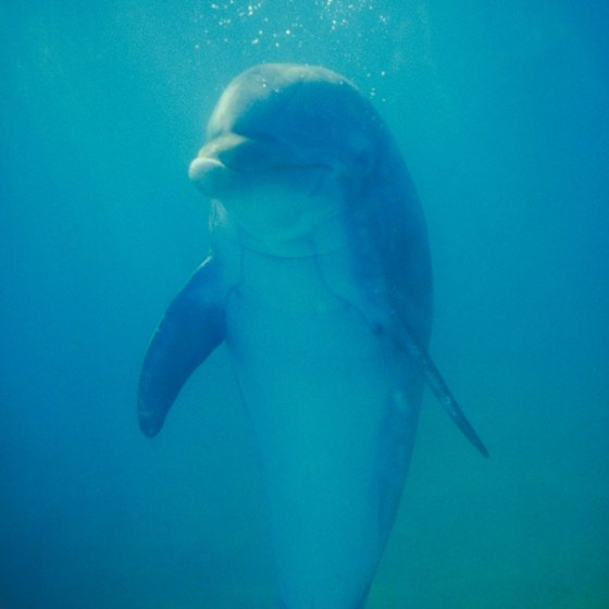 Some of Florida's marine parks offer the opportunity to wade or swim with dolphins.
