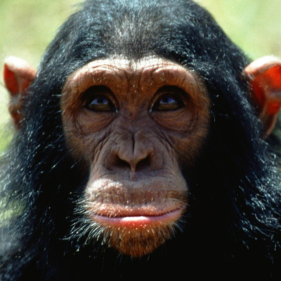Threatened populations of chimpanzees inhabit some of southeastern Nigeria's highlands.