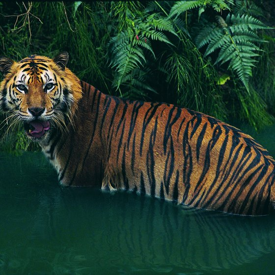 A Sumatran tiger depends on the rainforest for habitat.