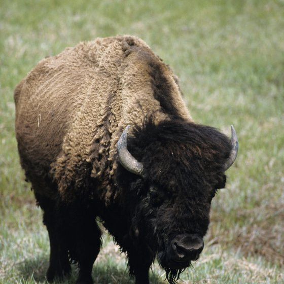 Buffalo were hunted by Native Americans who lived on the plains.