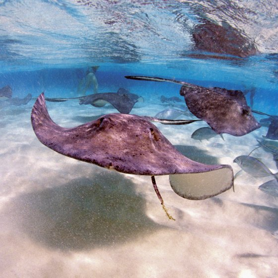 Grand Cayman tours include activities like snorkeling with stingrays.