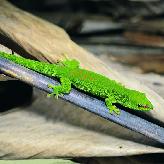 The day gecko is among the creatures found on the island of Madagascar