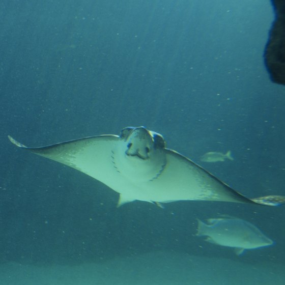 You may spot a ray while snorkeling off of Cat Island.