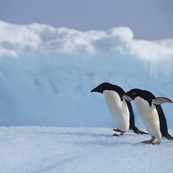 The Adelie penguin is one of four pengiun species in Antactica.