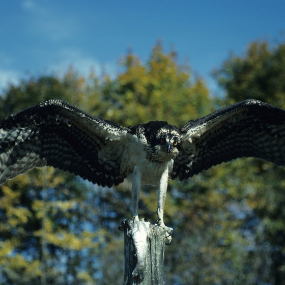 The osprey, among the iconic wildlife of Grants Pass, fish the Rogue River.